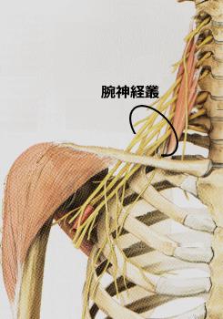 神経系~情報を受取り、処理し、発信する